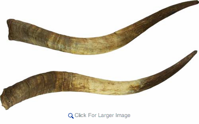 Pair of Raw Unmounted Horns - Natural - Click to enlarge