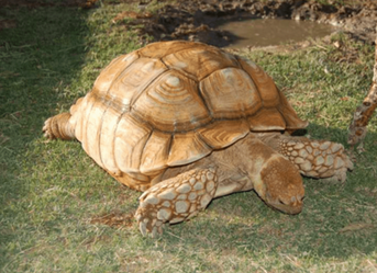 Female Sulcata Adult 18 inch Female Tortoise