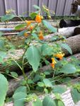 8 Resons To Use Jewelweed for First Aid