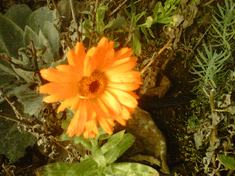 Calendula blooming in hoophouse in January