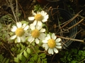 Feverfew blooming in hoophouse in January