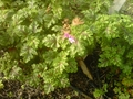 Geranium with bloom January 7 in Hoophouse (solar unheated)