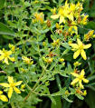 ST. JOHNS WORT - NATIVE HERB PLANTS