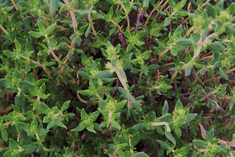 THYME IN SPRING