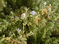 Traveling Rosemary in Bloom