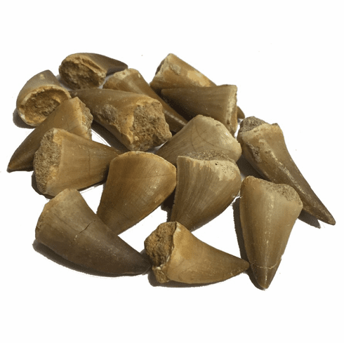 Fossilized Mosasaur Tooth