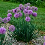"allium Serendipity [20""]<br>^^^ SOLD OUT ^^^"