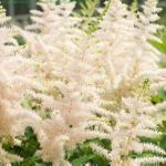 astilbe Milk and Honey [10 pk]<BR>^^^ SOLD OUT ^^^