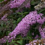 butterfly bush Pink Cascade<br>^^^ SOLD OUT ^^^