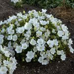 """campanula Rapido White [7""""]<br>^^^ SOLD OUT ^^^"""