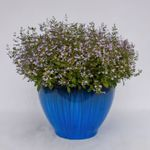 "calamint Marvelette Blue [12""]"