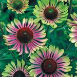 coneflower Green Twister [40]