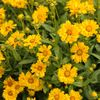 coreopsis Jethro Tull<br>^^^ SOLD OUT ^^^