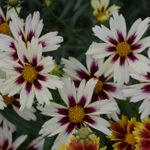 "coreopsis Starlight [12""]<BR>^^^ SOLD OUT ^^^"