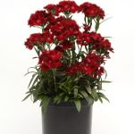 """dianthus Rockin Red [24""""]<BR>^^^ SOLD OUT ^^^"""