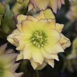 "helleborus First Dance [24""]<BR>^^^ SOLD OUT ^^^"