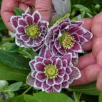 "helleborus Shotgun Wedding [24""]<br>^^^ SOLD OUT ^^^"