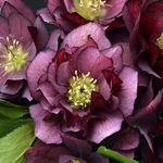 "helleborus True Love [24""]"