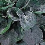 hosta Big Daddy [10 pk]<br>^^^ SOLD OUT ^^^