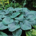 hosta Humpback Whale [10 pk]<BR>^^^ SOLD OUT ^^^