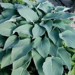 Hosta Mad About Blue