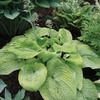 Hosta Pebble Creek