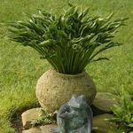 hosta Praying Hands [10 pk]<BR>^^^ SOLD OUT ^^^