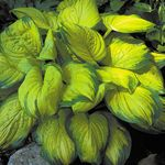 hosta Stained Glass [10 pk]<BR>^^^ SOLD OUT ^^^