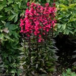 "lobelia Starship Deep Rose [24""]<br>^^^ SOLD OUT ^^^"