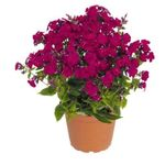 "phlox Flame Ruby [16""]<br>^^^ SOLD OUT ^^^"
