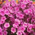 "phlox Smokey [28""]<br>^^^ SOLD OUT ^^^"