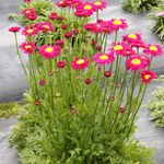 "Tanacetum Radiant Dp Pink [12""]<br>^^^ SOLD OUT ^^^"