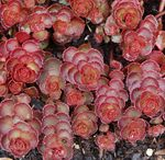 "sedum Red Rock [4-6""]"