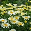 "shasta daisy Banana Cream [18""]"