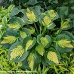 Pocketful of Sunshine<br>SMALL STARTER PLANT<br>(ships early April)