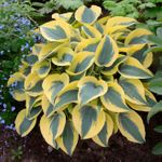 Autumn Frost<br>4 SMALL STARTER PLANTS<br>(ships late March)