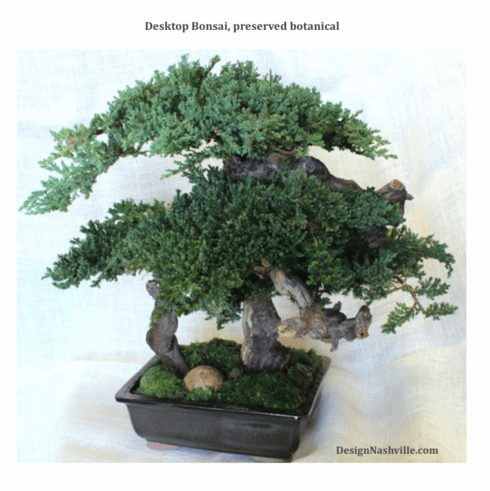 "Desktop Bonsai 20"", preserved botanical"