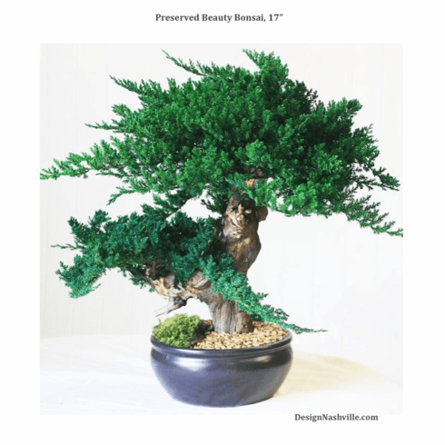 Preserved Beauty Bonsai Tree, 17""