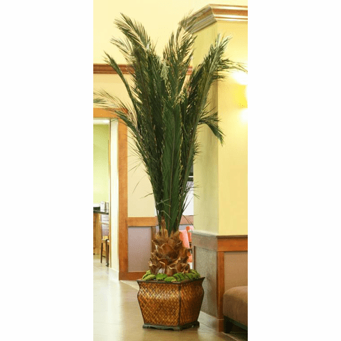Preserved Newport Palm Tree 6 ft or 7 ft.