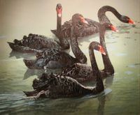 "HARRIS-CHING: BLACK SWANS</a> <img src=""http://edit.store.yahoo.com/I/yhst-53343112752519_1792_1103024"">"