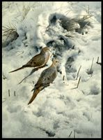 "HARRIS-CHING: EARLY SNOW - MOURNING DOVES</a> <img src=""http://edit.store.yahoo.com/I/yhst-53343112752519_1792_1103024"">"