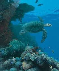 Reef Sentinel - Sea Turtle <br> Giclee Canvas<br>