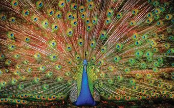 The Big Boy Peacock Jigsaw Puzzle (1000 Pieces)