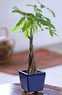Braided Money Tree small