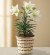 Easter Sentiments� Lily Plant