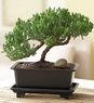Juniper Bonsai small