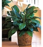 Medium Spathiphyllum Plant