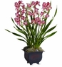 Simply Cymbidium plants