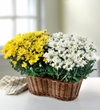 """Two 6"""" Blooming Plants in a Basket"""