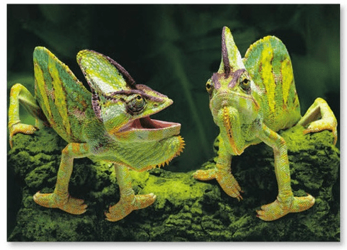 Couple Chameleon